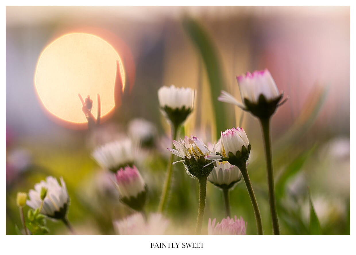 FAINTLY SWEET Portfolio image of pink daisies in a sunset with a red sun