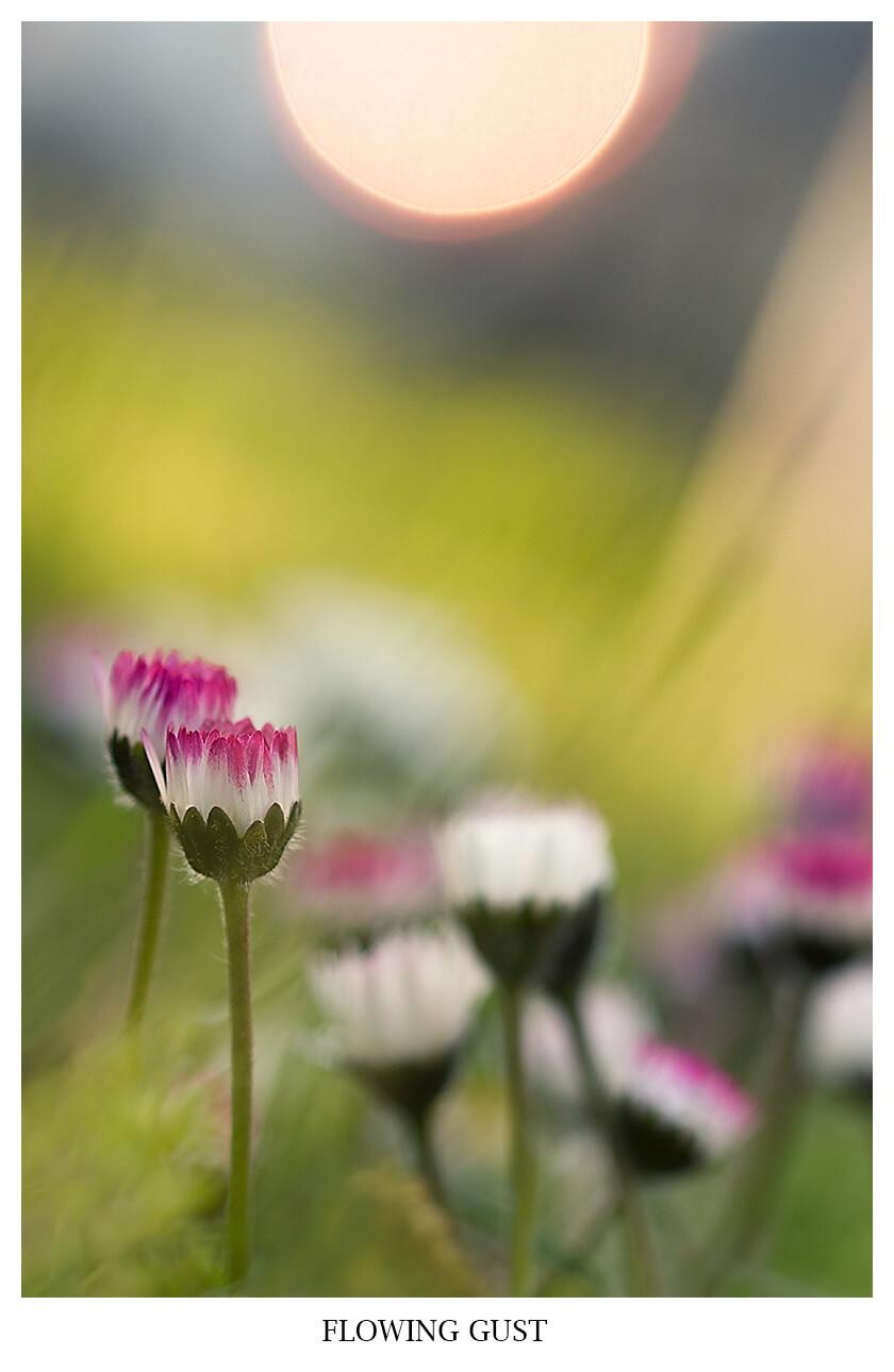 FLOWING GUST Natur Fotografie mit SOnnenuntergang von Gänseblümchen