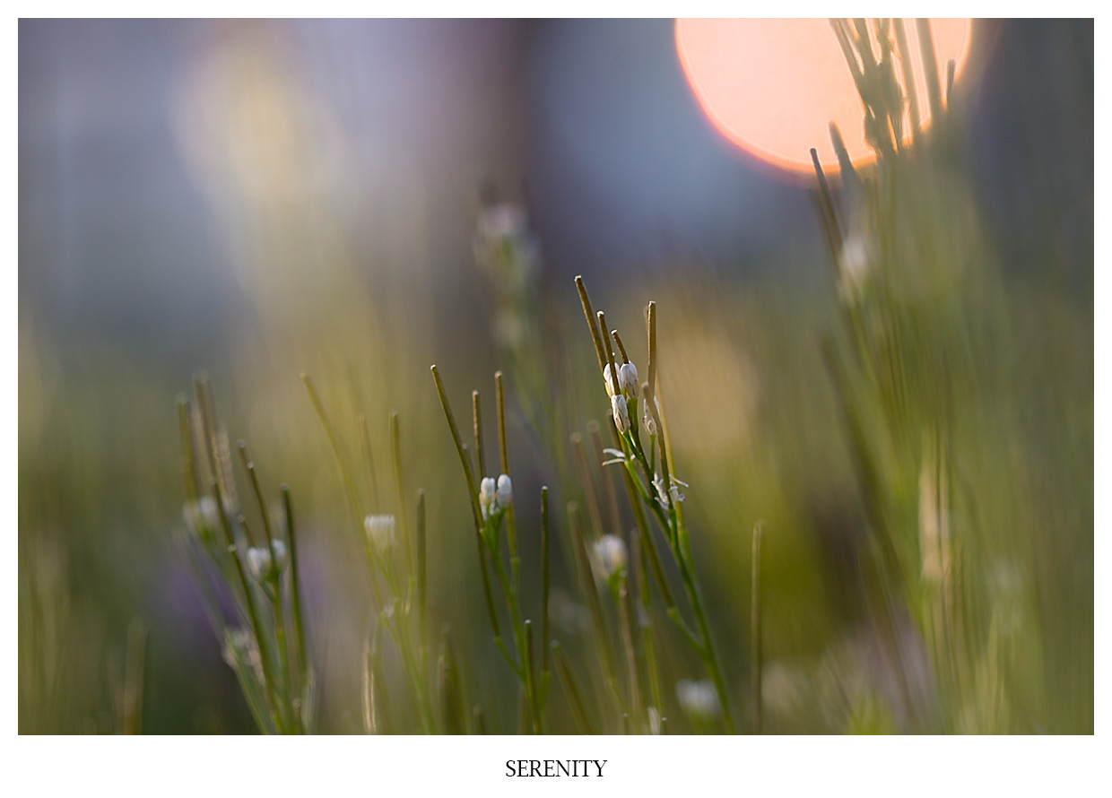 SERENITY Gallery image on a beautiful sunset on white flowers in the grass